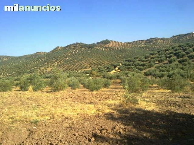 LA CARRASCA.  MARTOS FINCA DE OLIVOS - foto 1