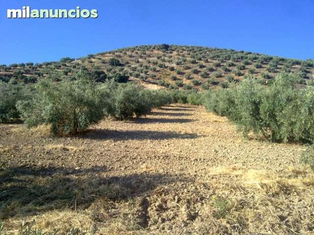 LA CARRASCA.  MARTOS FINCA DE OLIVOS - foto 2