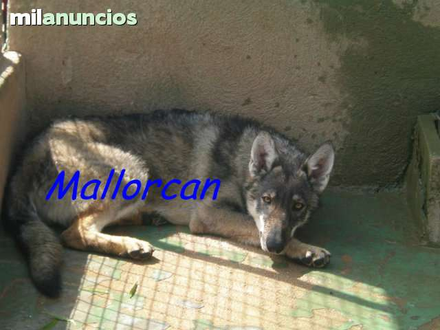PERROS LOBO-MALLORCAN - foto 4