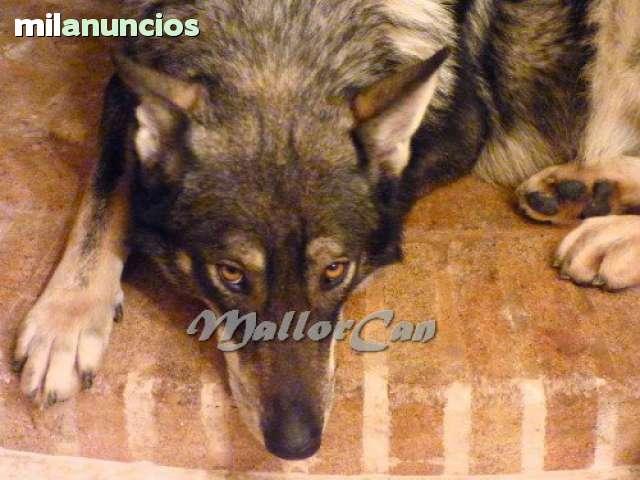 PSICOLOGIA CANINA  -MALLORCAN- - foto 1