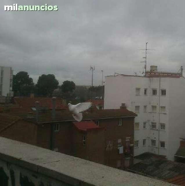 BUCHONES GRANADINOS DE VUELO - foto 5