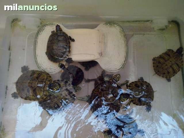 VENDO TORTUGAS DE AGUA