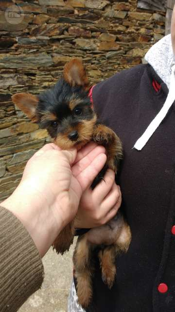 YORKSHIRE TERRIER. CON PEDIGREE.