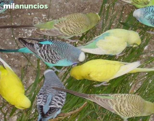 Mil Anuncios Com Canarios Compra Venta De Pajaros Canarios En León Anuncios Con Fotos De Pajaros Comprar Un Pajaro Todas Las Razas De Pajaros