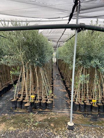 PLANTAS PLANTONES OLIVO Y PROTECTORES