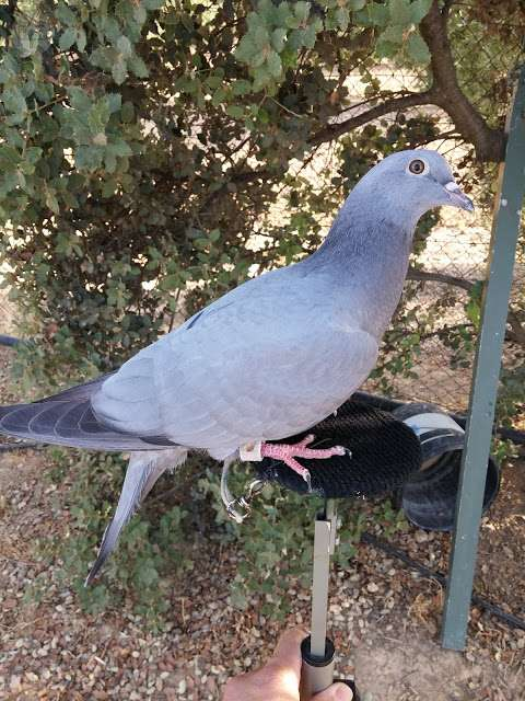 MIL ANUNCIOS COM - Cimbel paloma  Artículos de caza cimbel paloma en