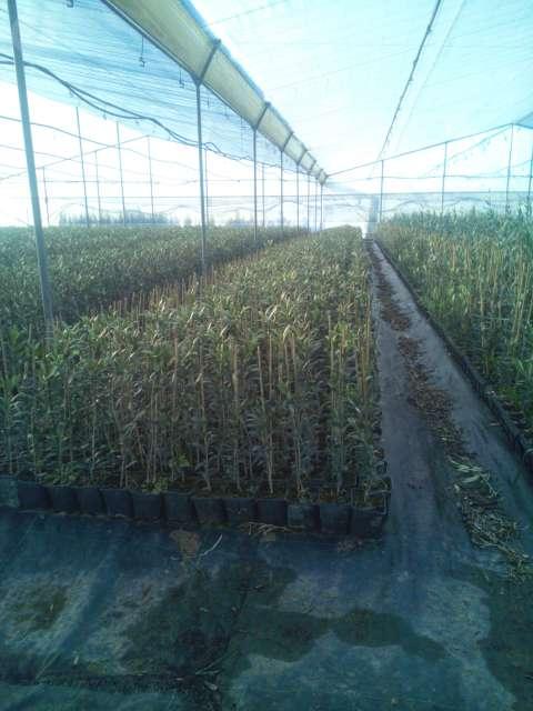 PLANTAS PLANTONES OLIVO, Y PROTECTORES