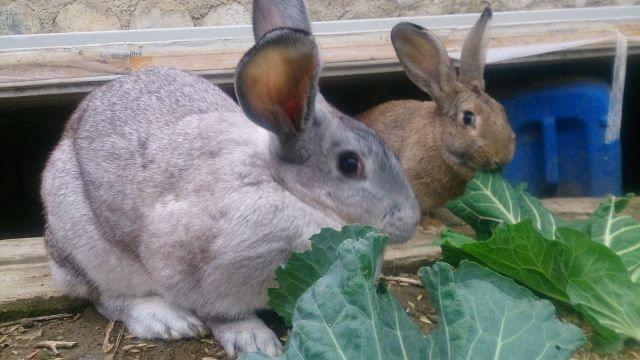 f14dcee6342f Compra venta de conejos alfalfa. Anuncios con fotos de conejos. Comprar un  conejo. Todas las razas de conejos.