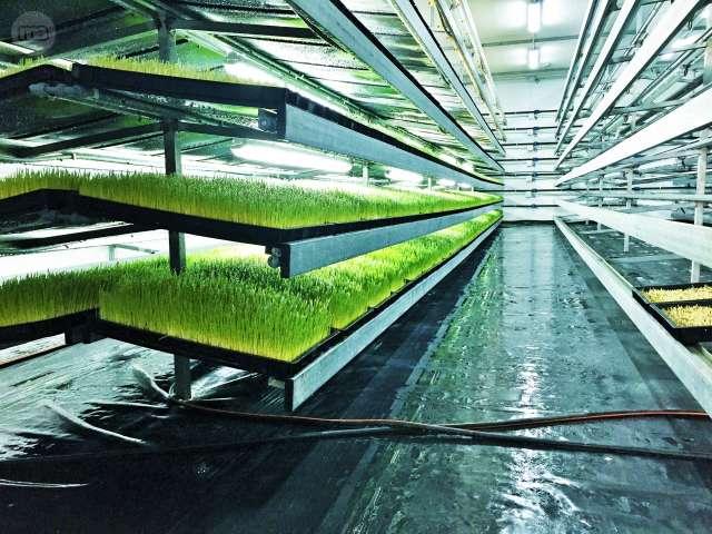 forraje verde hidroponico