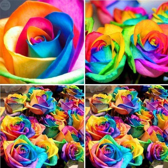 Rosas Arco Iris Muy Bonitas
