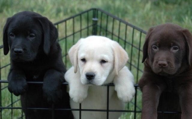 Mil Anuncioscom Compra Venta De Labradores En Las Palmas