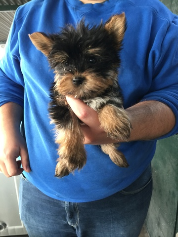 MINI TOY - YORKSHIRE TERRIER