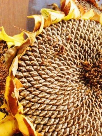 75 Semillas de Girasol pipas comestibles  Helianthus annuus seed