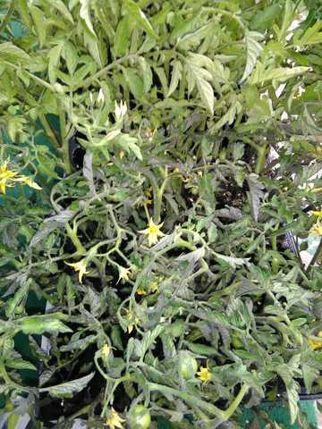 PLANTAS DE TOMATES ,  PIMIENTOS,  BERENJE - foto 1