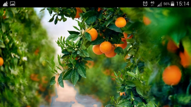 MIL ANUNCIOS.COM Anuncios de compra de naranjas para zumo