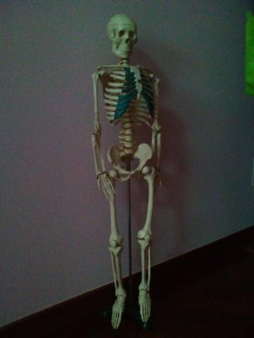 2fd93f3fc8f COM - Esqueleto humano Segunda mano y anuncios clasificados Pag(2)