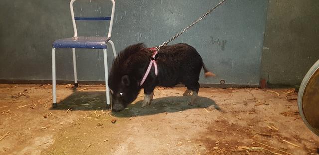 MINI PIG ,  MICRO  , TOY DISPONIBLE MONTA - foto 1