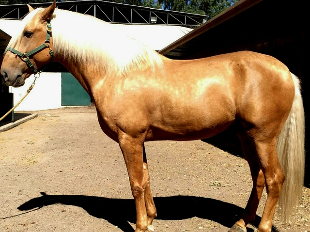 MIL ANUNCIOS.COM - Yeguada perla. Compra venta de caballos ...