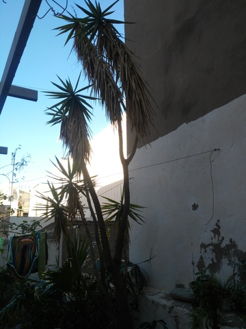 Yuca Pata De Elefante 5m