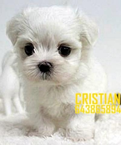 Mil Anuncios Com Regalo Cachorro Raza Pequeña Compra Venta De Perros Regalo Cachorro Raza Pequeña Regalo De Cachorros Pag 2