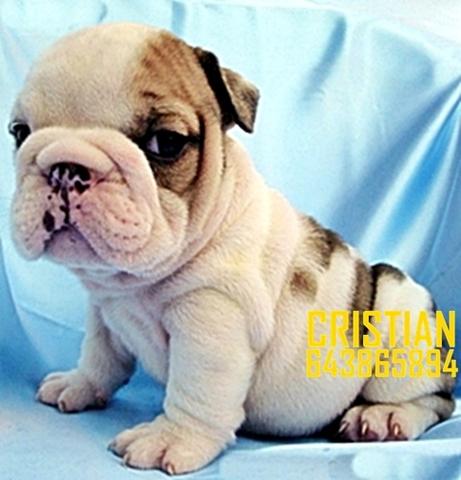 Mil Anuncioscom Compra Venta De Bulldogs Anuncios Con Fotos De