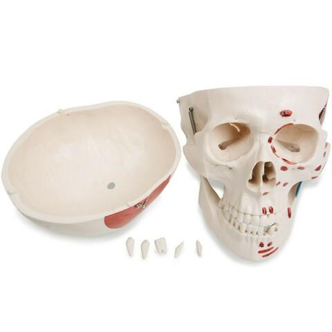 b8faafa2204 MIL ANUNCIOS.COM - Esqueleto articulado Segunda mano y anuncios ...