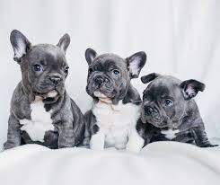 Mil Anuncioscom Bulldog Frances Girona Segunda Mano Y Anuncios