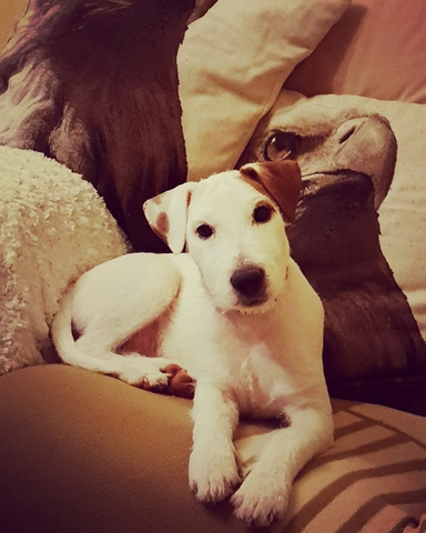 PARSON  JACK RUSSELL TERRIER PARA MONTA - foto 1