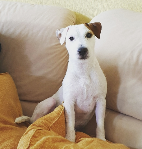 PARSON  JACK RUSSELL TERRIER PARA MONTA - foto 2