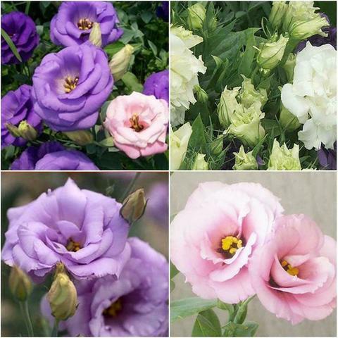 7 Semillas Raro Arbol de la lluvia Raras Jardin Arboles Flor SAMANEA SAMAN