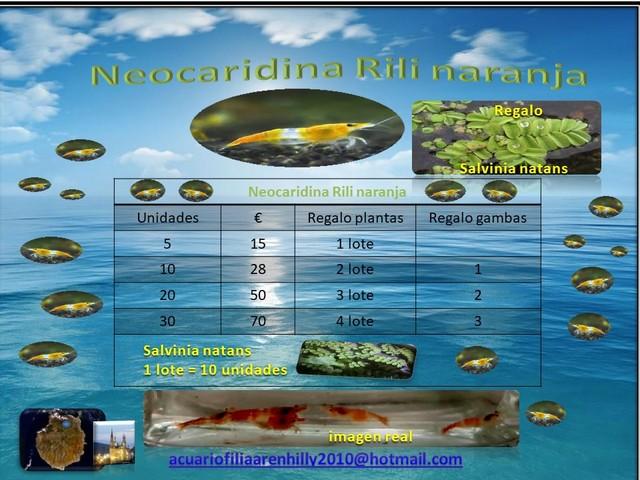 NEOCARIDINA RILI AMARILLA - foto 2