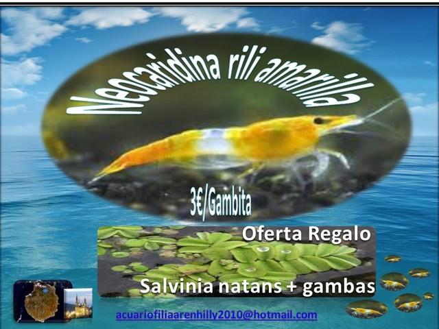 NEOCARIDINA RILI AMARILLA - foto 1
