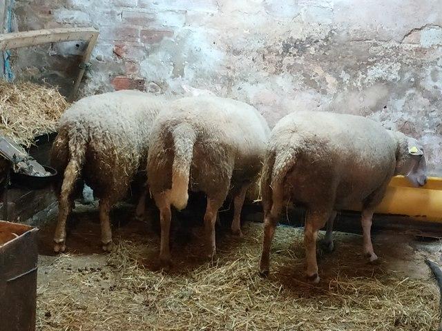 MIL ANUNCIOS COM - Ovejas carne  Compra venta de otros