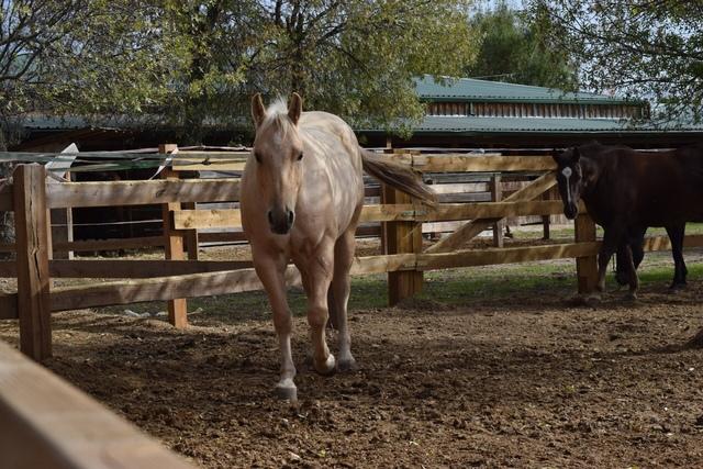 QUARTER HORSE - foto 8
