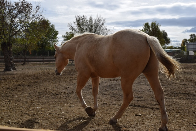 QUARTER HORSE - foto 7