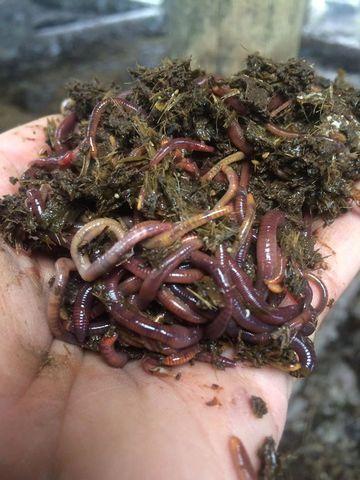 larvas de lombriz californiana