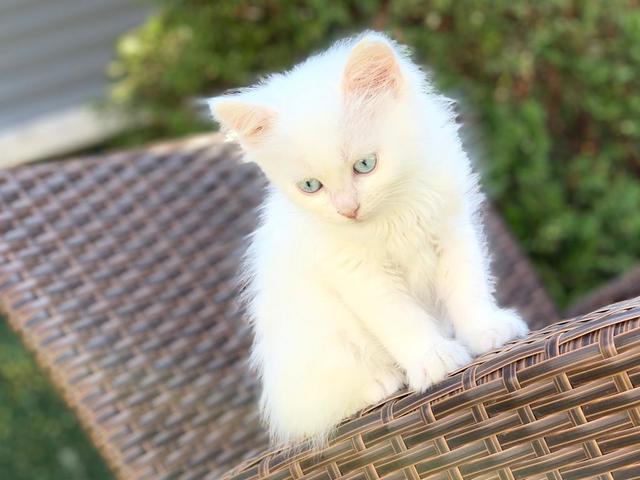 MIL ANUNCIOS.COM - Angora blanco. Compra venta de gatos angora ...