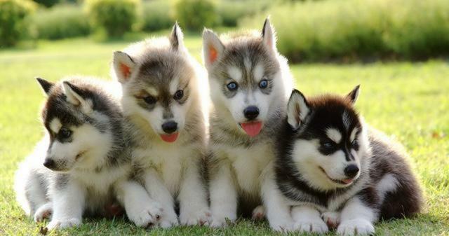 MIL ANUNCIOS.COM - Preciosos cachorros de Husky siberiano