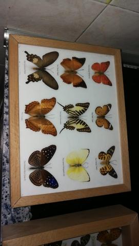Mariposas , 5 Cuadros