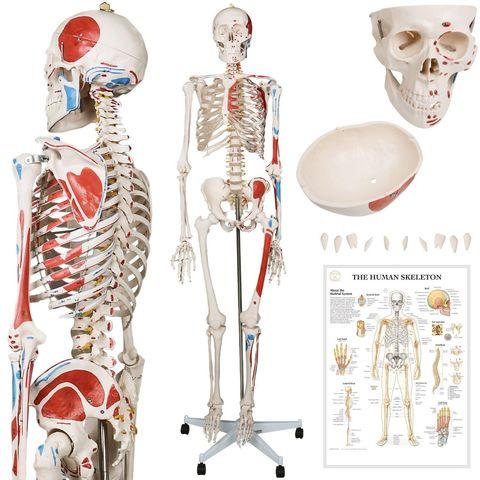 MIL ANUNCIOS.COM Esqueleto humano Segunda mano y anuncios