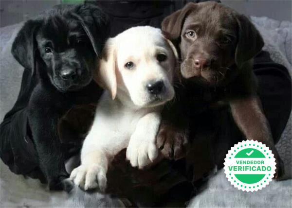 HERMOSOS LABRADOR RETRIEVER - foto 2