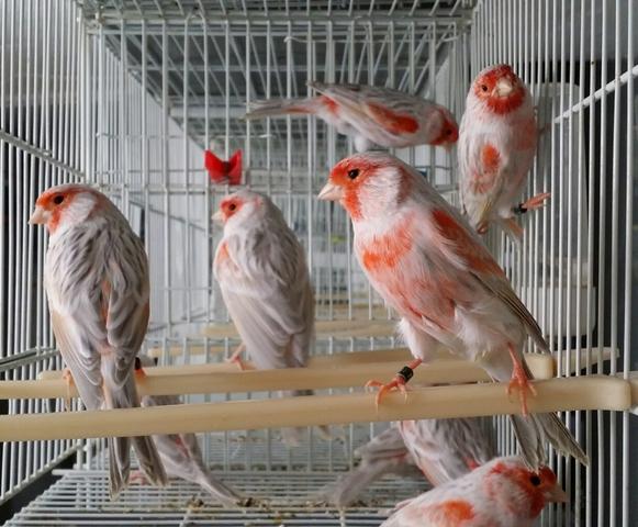 Mil Anuncios Com Canarios Rojos Compra Venta De Pajaros Canarios Rojos En Zamora Anuncios Con Fotos De Pajaros Comprar Un Pajaro Todas Las Razas De Pajaros