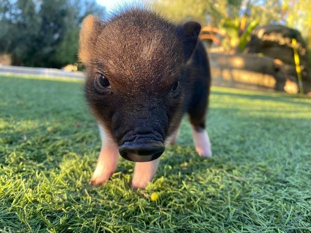 SE VENDEN MINI PIGS - foto 2