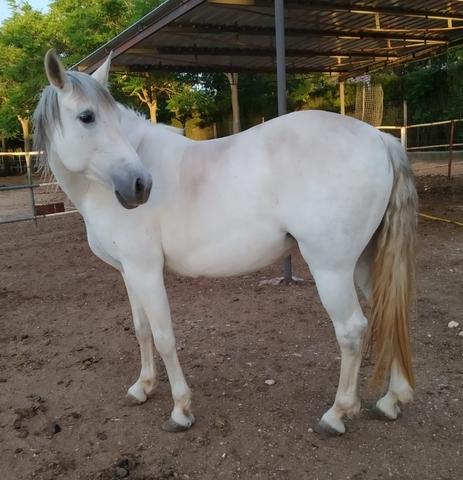 CAMBIO YEGUA PRE - foto 2