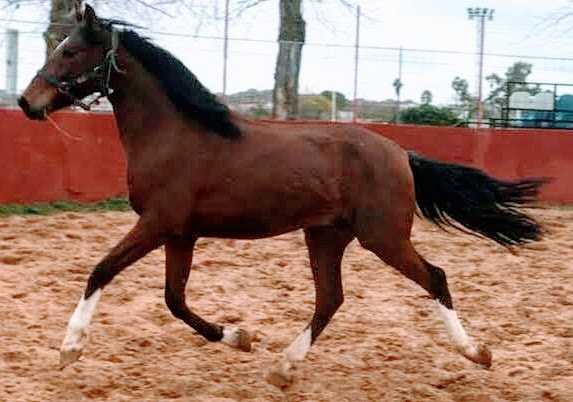 CABALLO CASTAÑO - foto 3