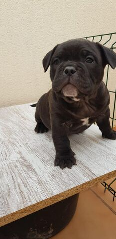 AMERICAN BULLY EXOTIC MICRO/POKET - foto 2