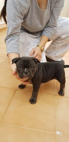 AMERICAN BULLY EXOTIC MICRO/POKET - foto 5