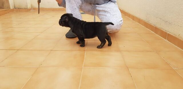 AMERICAN BULLY EXOTIC MICRO/POKET - foto 4