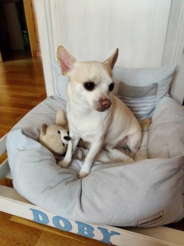 Mil Anuncios Com Chihuahua Busca Novia Segunda Mano Y Anuncios Clasificados
