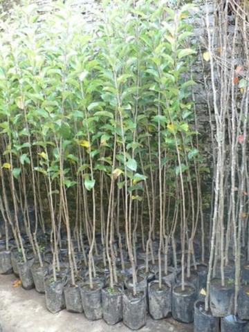 JARDINERIA PODAS DESBROCES PLANTACIONES - foto 7